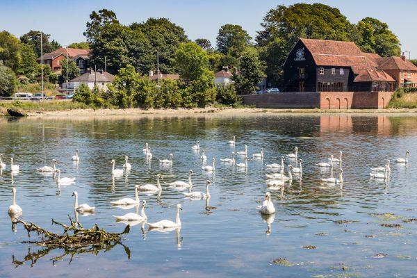swans in fareham